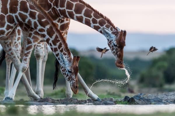Le giraffe hanno bisogno di noi, ora più che mai !
